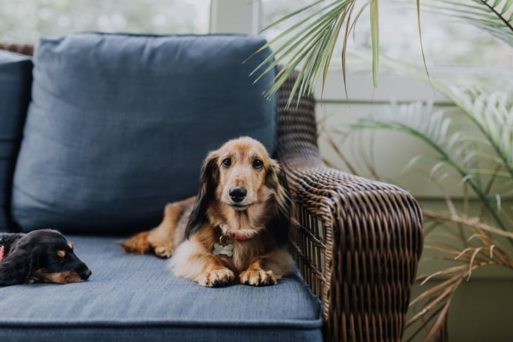 Dachshund Ramps; Do I Need One?