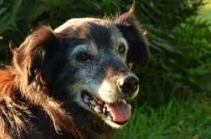 Dog Ramp Co. Australian Dog ramps and Steps Older Bordercollie min