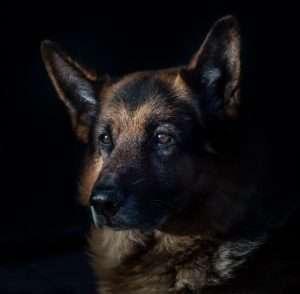 Dog Ramp Co. Australian Dog ramps and Steps german shepherd portrait min