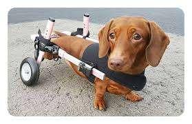 The Dog Ramp Co. Dachshund IVDD Wheelchair