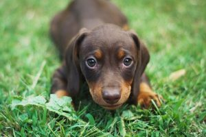 The Dog Ramp Co. Dachshund Puppy in the grass min