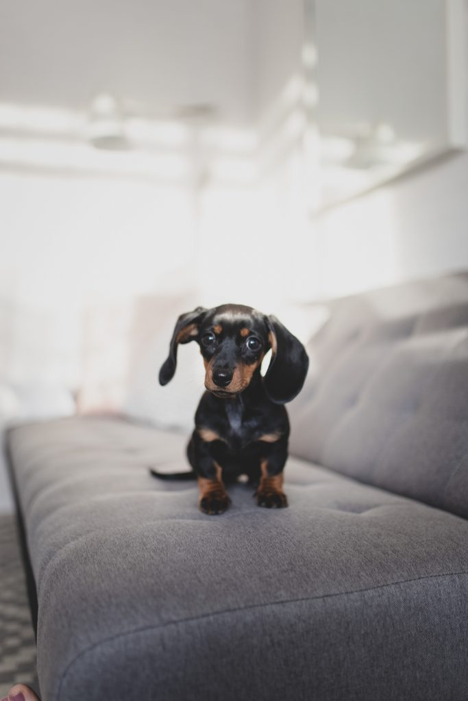 The Dog Ramp Co. Dachshund puppy on the couch min