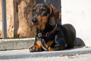 The Dog Ramp Co. Dachshund steps min