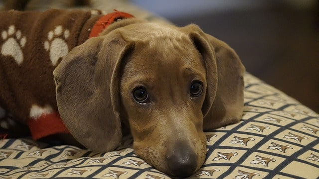 The Dog Ramp Co. Short haired Dachshund on the couch min